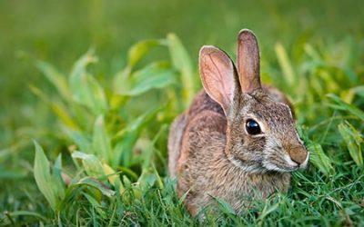 Nieuw vaccin voor konijnen
